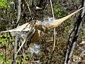 Vincetoxicum rossicum SCA-05227.jpg