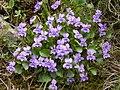 Viola alba (15301747240).jpg