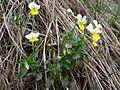 Viola arvensis BS16.1.jpg