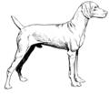 Vizsla -Dog (PSF).png