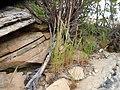 Vulpia myuros (6244079450).jpg