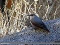 Wallcreeper (Tichodroma muraria) (32803288500).jpg