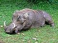 Warthog (Phacochoerus africanus) male resident (17784991119).jpg
