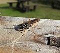 Wasp (21474382463).jpg