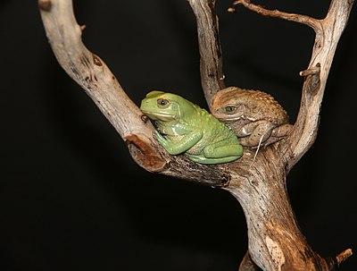 Waxy Monkey Tree Frogs Phyllomedusa sauvagii 1.jpg