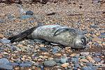 Weddell seal's pup IMG 1256.jpg