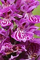 Western Marsh Orchid - Dactylorhiza majalis (14544727759).jpg