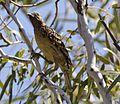 Western bowerbird 1 (7984929478).jpg