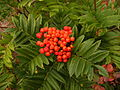 Western mountain ash (Sorbus sitchensis) -- leaves and fruit.JPG
