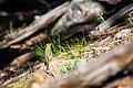Western tanager (48408167797).jpg
