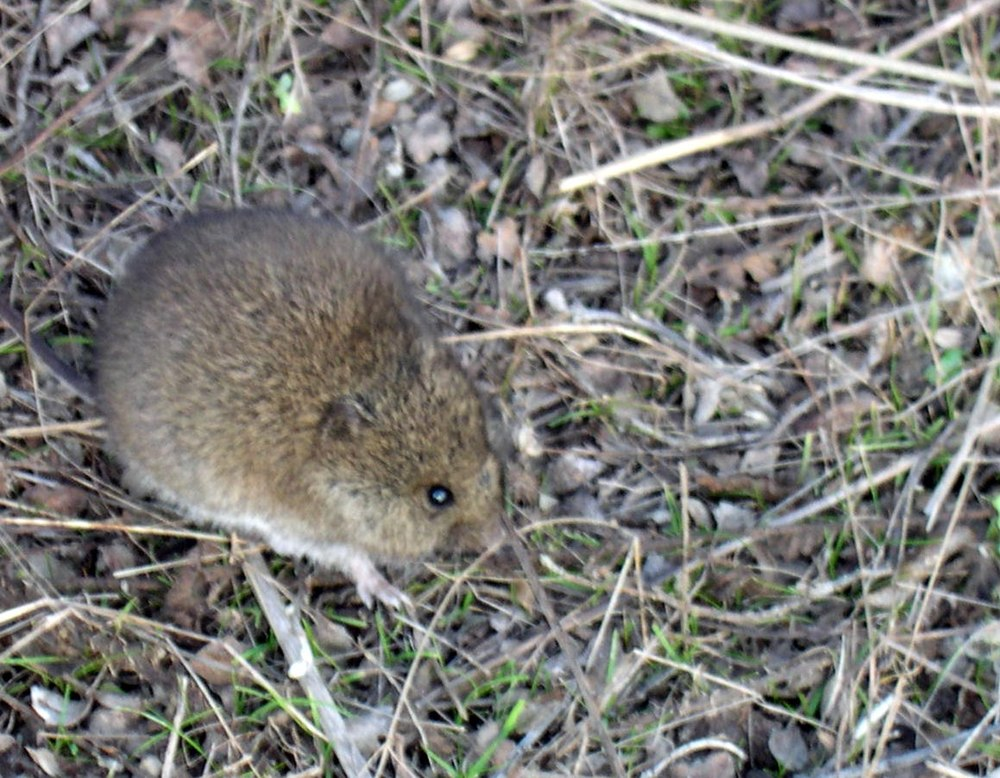 The average litter size of a Western harvest mouse is 4