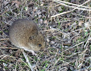 Western harvest mouse species of mammal