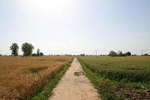Phagwara - Wheat field in Phagwara