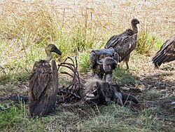 White-backed vultures eating a dead wildebeest.JPG
