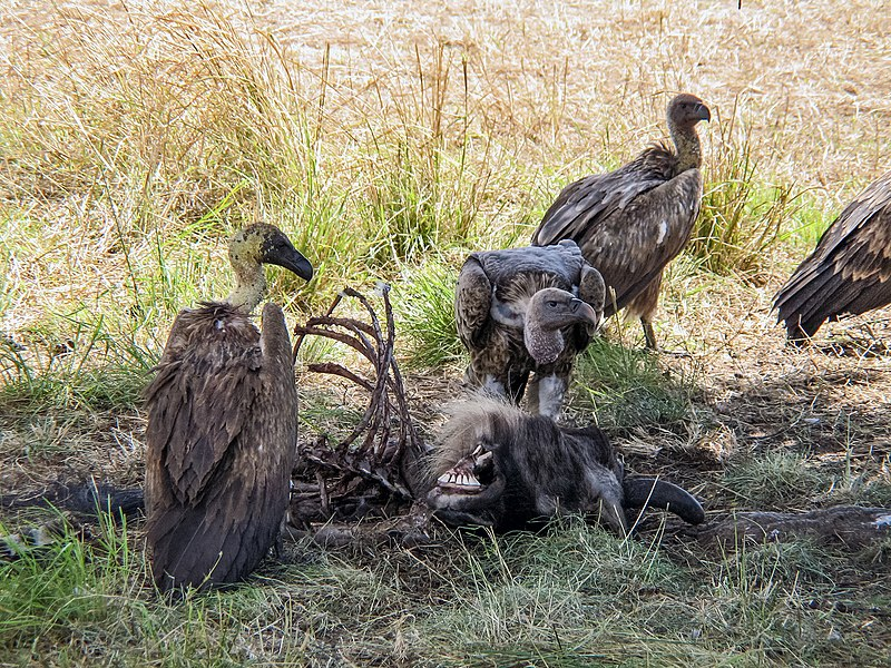Afrika 800px-White-backed_vultures_eating_a_dead_wildebeest