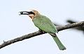 White-fronted Bee-eater, Merops bullockoides, at Rietvlei Nature Reserve, Gauteng, South Africa (15863580030).jpg