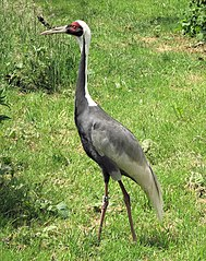 Żuraw białoszyi – Wikipedia, wolna encyklopedia