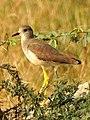 White-tailed Lapwing Vanellus leucurus by Dr. Raju Kasambe DSCN7098 (2).jpg