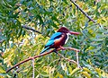 White-throated kingfisher on a neem tree in South India.jpg