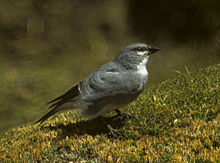 White-winged Diuca-Finch - Chile (23392277235).jpg