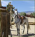 White Horse, Pioneertown, CA 4-13-13 (8698455727).jpg