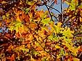 White Oak Leaves - Flickr - treegrow.jpg