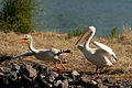 White Pelicans (4818835151).jpg