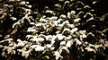 White Snow on the Christmas Tree.jpg