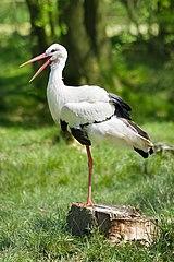 Bocian biely (lat. Ciconia ciconia)