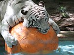 White Tiger and Ball 3 (15377719540).jpg