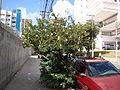 White powderpuff (calliandra haematocephala alba). Sao Paulo Brasil. Latin america tree (3491881576).jpg