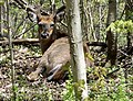 White tailed deer and many other wildlife species call Red Hil Valley home..JPG