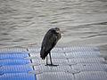 Wien - Hochwasser Juni 2013 - Graureiher.jpg