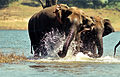 Wild Elephants bathing by N. A. Naseer.jpg