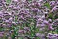 Wild Marjoram - a magnet for bees and butterflies- Origanum vulgare (8859511473).jpg