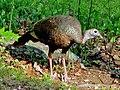 Wild Turkey RWD2.jpg