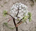 Wild angelica - before blooming.jpg