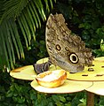 Wilhelma Schmetterling 5.jpg