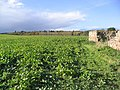 Winter crops - geograph.org.uk - 276895.jpg