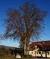 """Winterlinde beim """"Jost"""" in Augsdorf in der Gemeinde Velden am Wörthersee.jpg"""