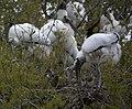 Wood storks (4531328076).jpg