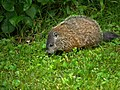 Woodchuck offspring in our yard (5826409312).jpg