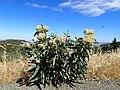 Woollypod milkweed plant (15813704011).jpg