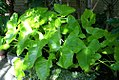 Xanthosoma sagittifolium Aurea 0zz.jpg