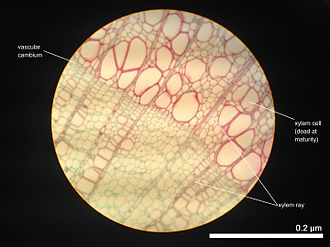 Tissue (biology) - Cross section of 2-year-old Tilia Americana, highlighting xylem ray shape and orientation.