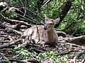Yakushima Deer 01.jpg