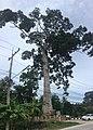Yang Na Yai Tree.jpg