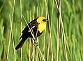 Yellow-headed blackbird on Seedskadee National Wildlife Refuge (34376250023).jpg