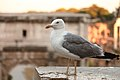 Yellow-legged Gull in Rome.jpeg