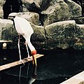 Yellow Billed Stork.jpg